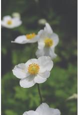 Anemone Japanese Sylvestris