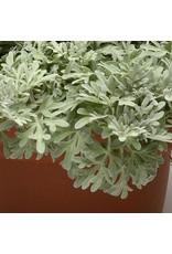 Artemisia Stelleriana 'Boughton Silver'