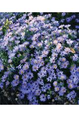 Aster Dumosus 'Wood's Blue'