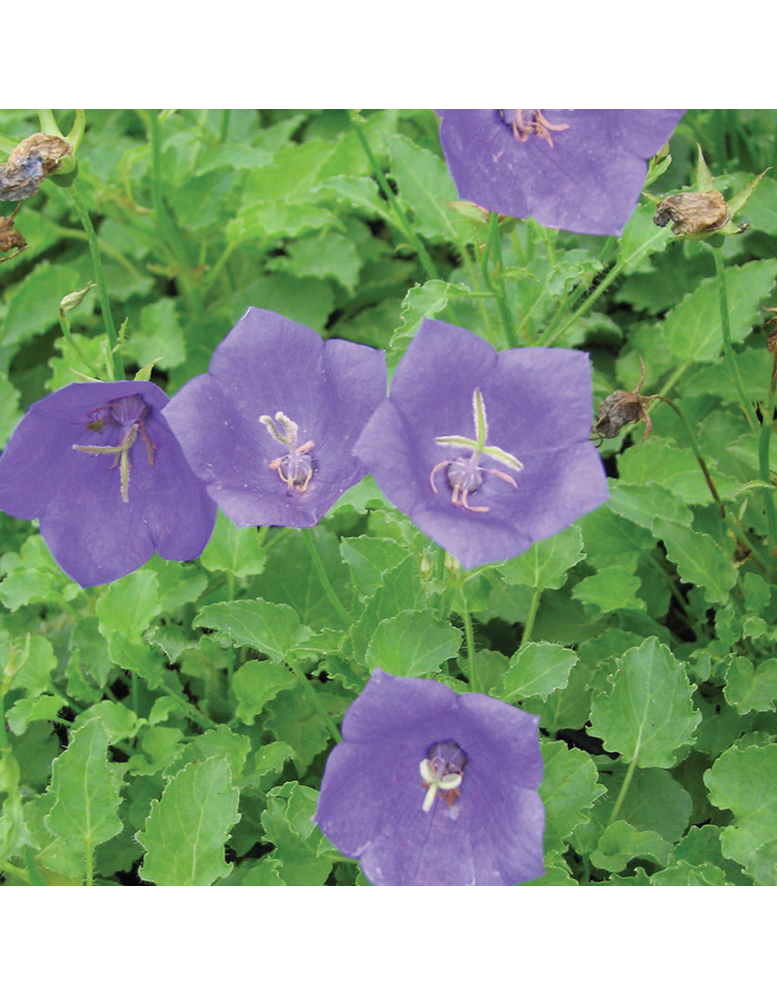 Campanula Carpatica 'Blue Clips'