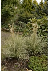 Overdam Feathered Reed Grass