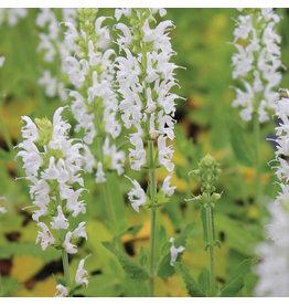 Salvia nemerosa 'Snow Hill'