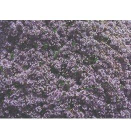 Thymus Serpyllum Elfin