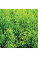 Home Grown Asparagus Fern (Asparagus - Sprengerii)