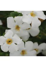Home Grown Bacopa (Sutera) - MegaCopa White