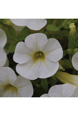 Home Grown Calibrachoa Cabaret White