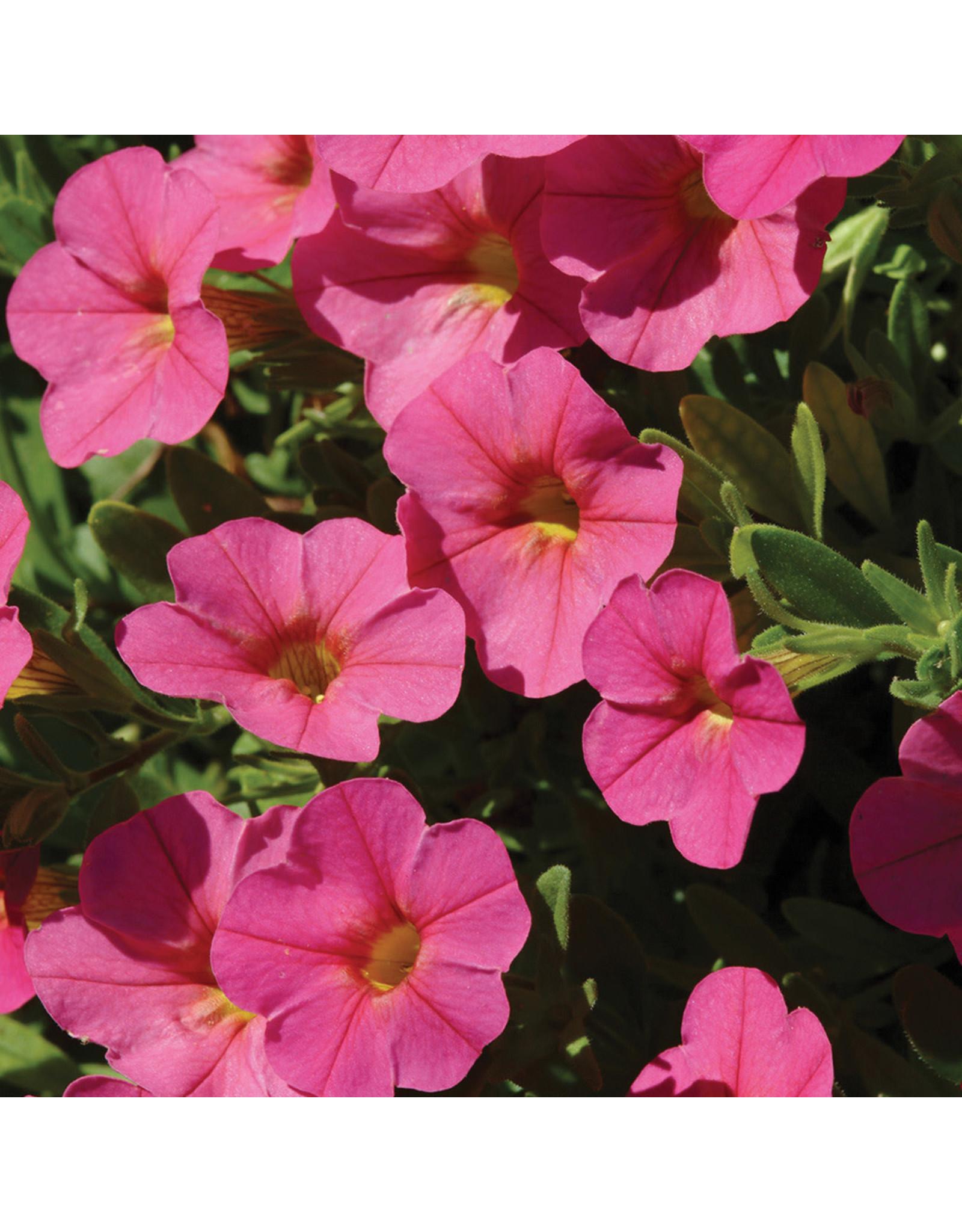 Home Grown Calibrachoa Cabaret Hot Pink