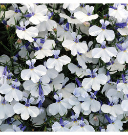 Home Grown Lobelia  - Early Springs White