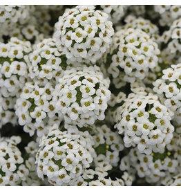 Home Grown Lobelia  - Easy Breezy White BSK