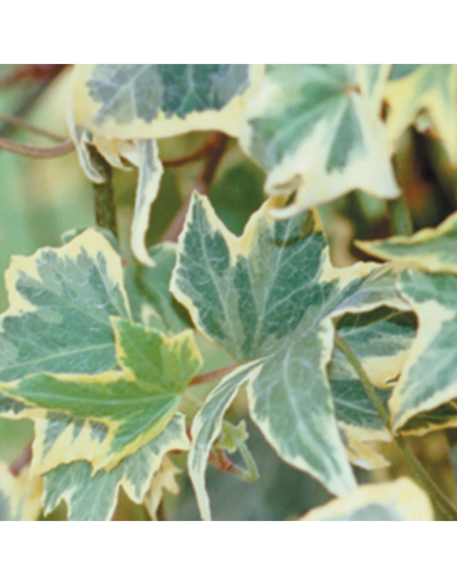 Home Grown English Ivy - Yellow Ripple