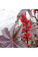 Castor Bean - Gibsonii (Red)