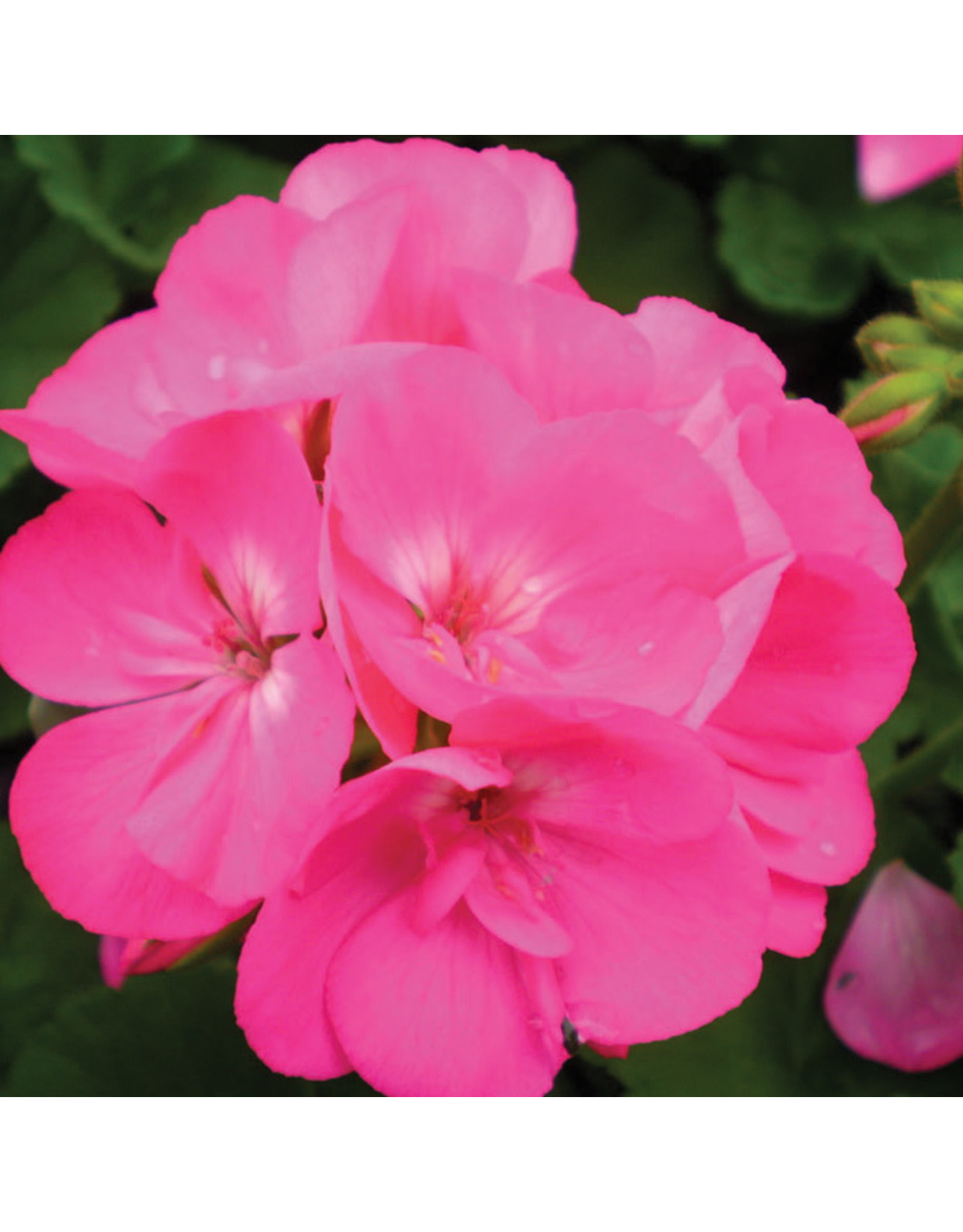Geranium - Survivor Pink Passion