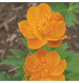 Globeflower - Golden Queen