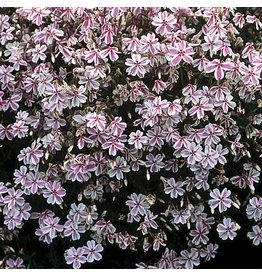 Phlox - Moss Phlox Candy Stripe