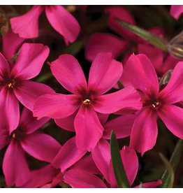 Phlox - Moss Phlox Scarlet Flame