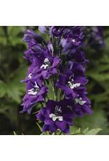 Delphinium - Magic Fountains Dark Blue White Bee