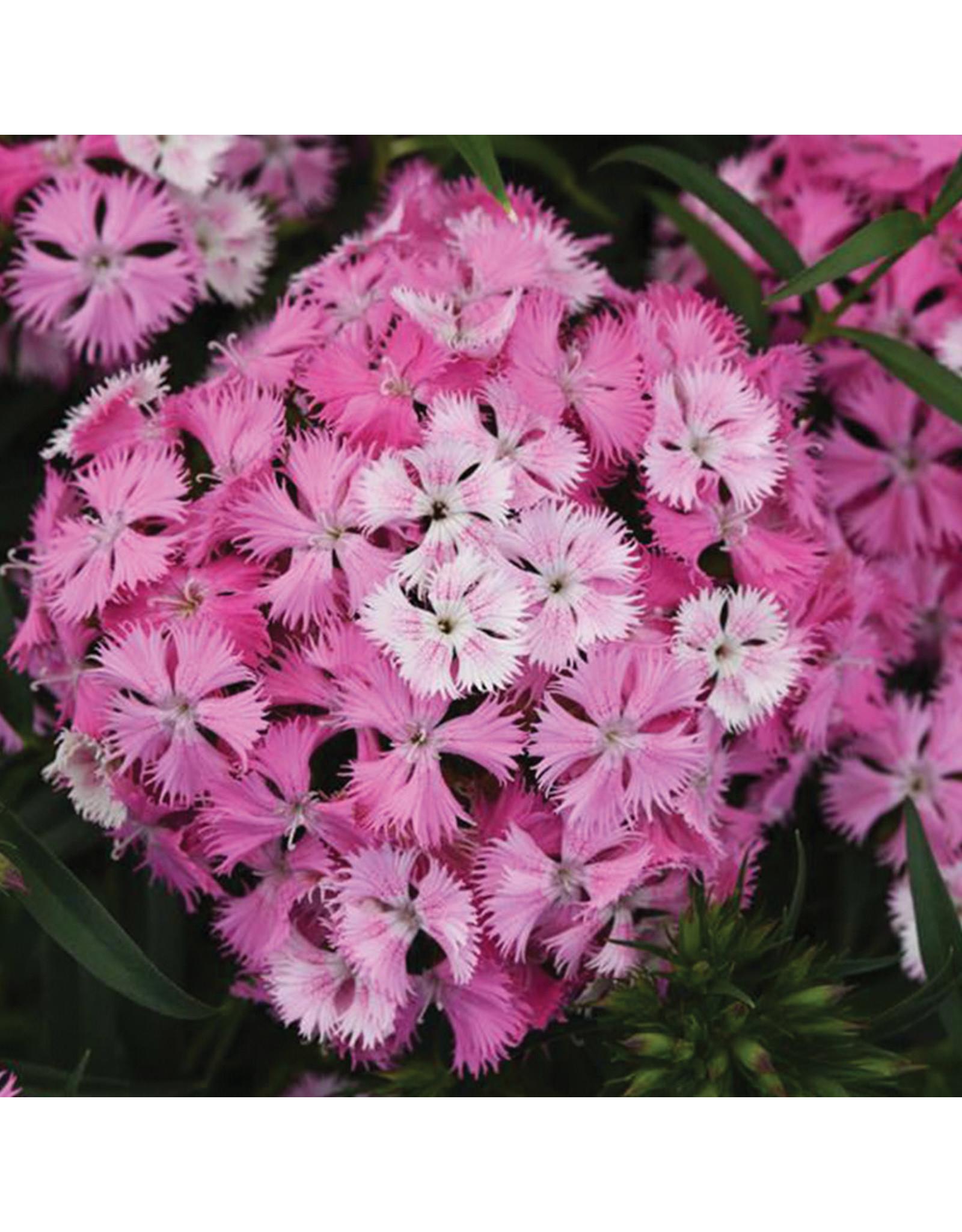 Dianthus - Rockin Pink Magic
