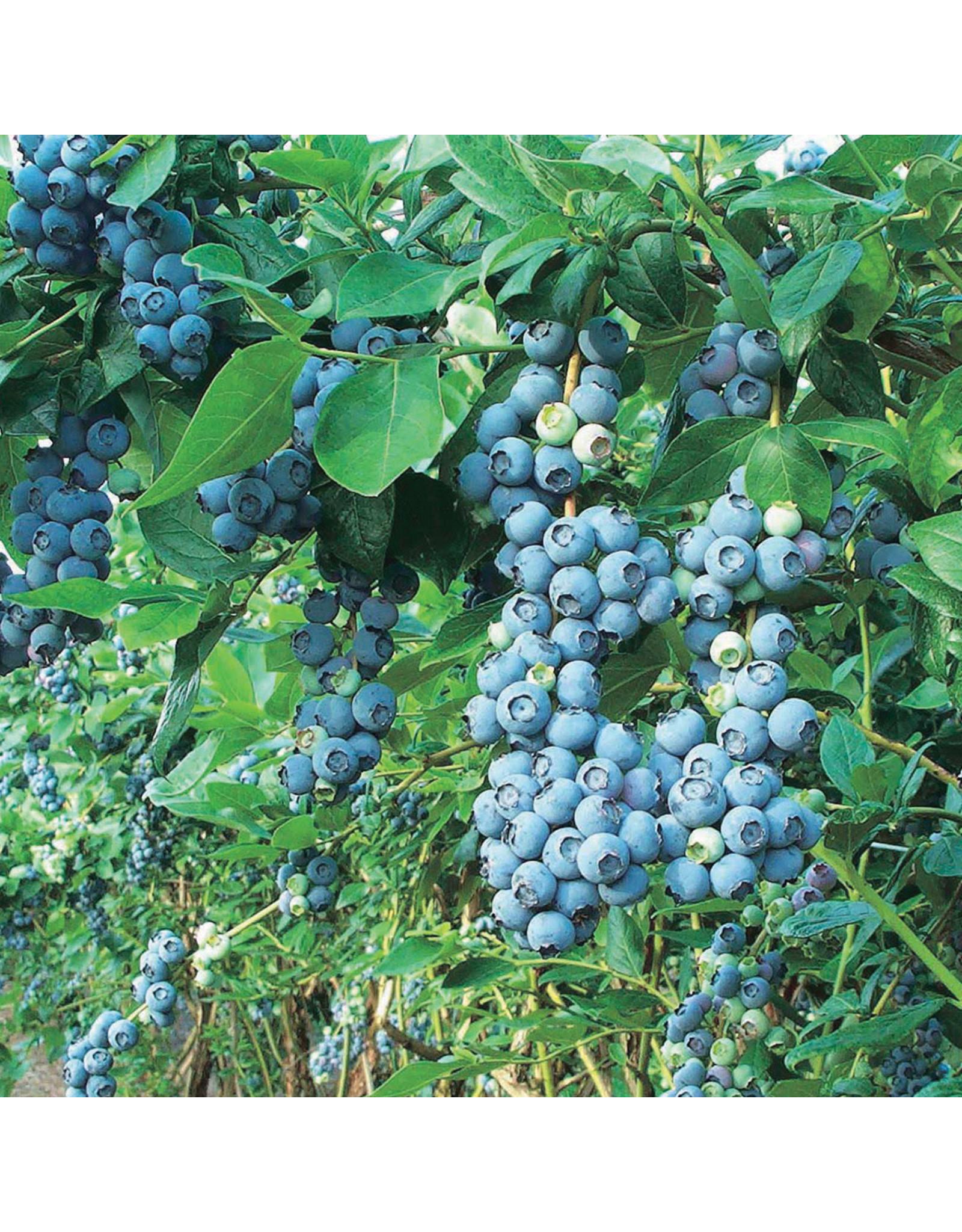 Blueberry - Chippewa - #1 - NO WARRANTY