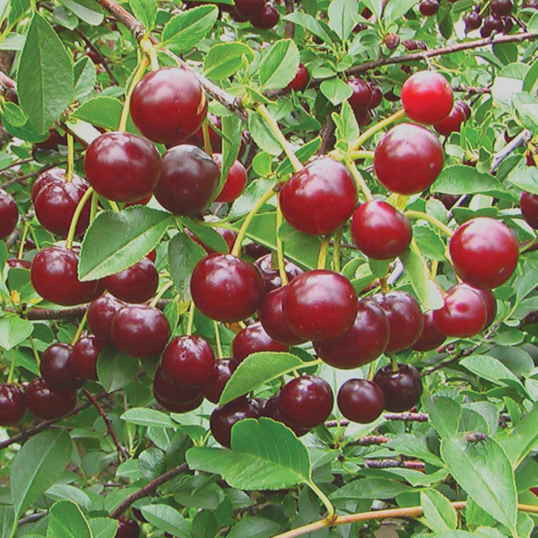 Cherry - Carmine Jewel - #1 - NO WARRANTY