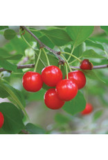 Cherry - Evans - #1 - NO WARRANTY