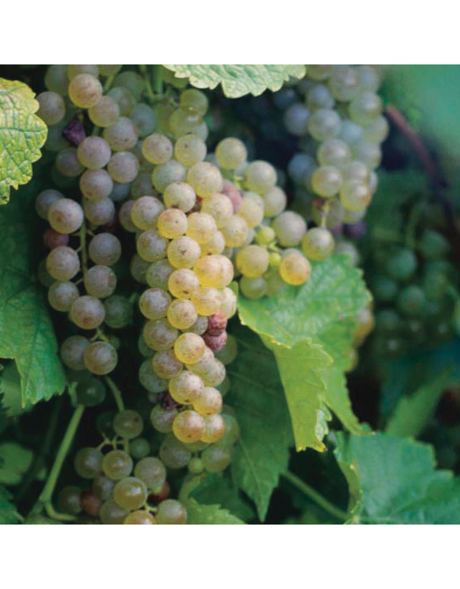 Grape - Eona White - #1 - NO WARRANTY
