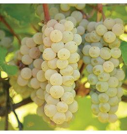 Grape - Prairie Star White  - #1 - NO WARRANTY