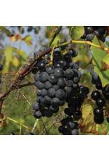 Grape - Valiant  - #1 - NO WARRANTY