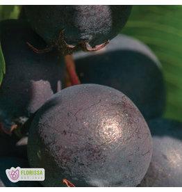 Saskatoon Berry Collection - #1