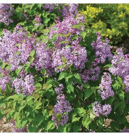Lilac - Scentara Pura - 8''