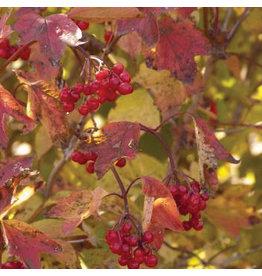Viburnum - American Redwing - #2