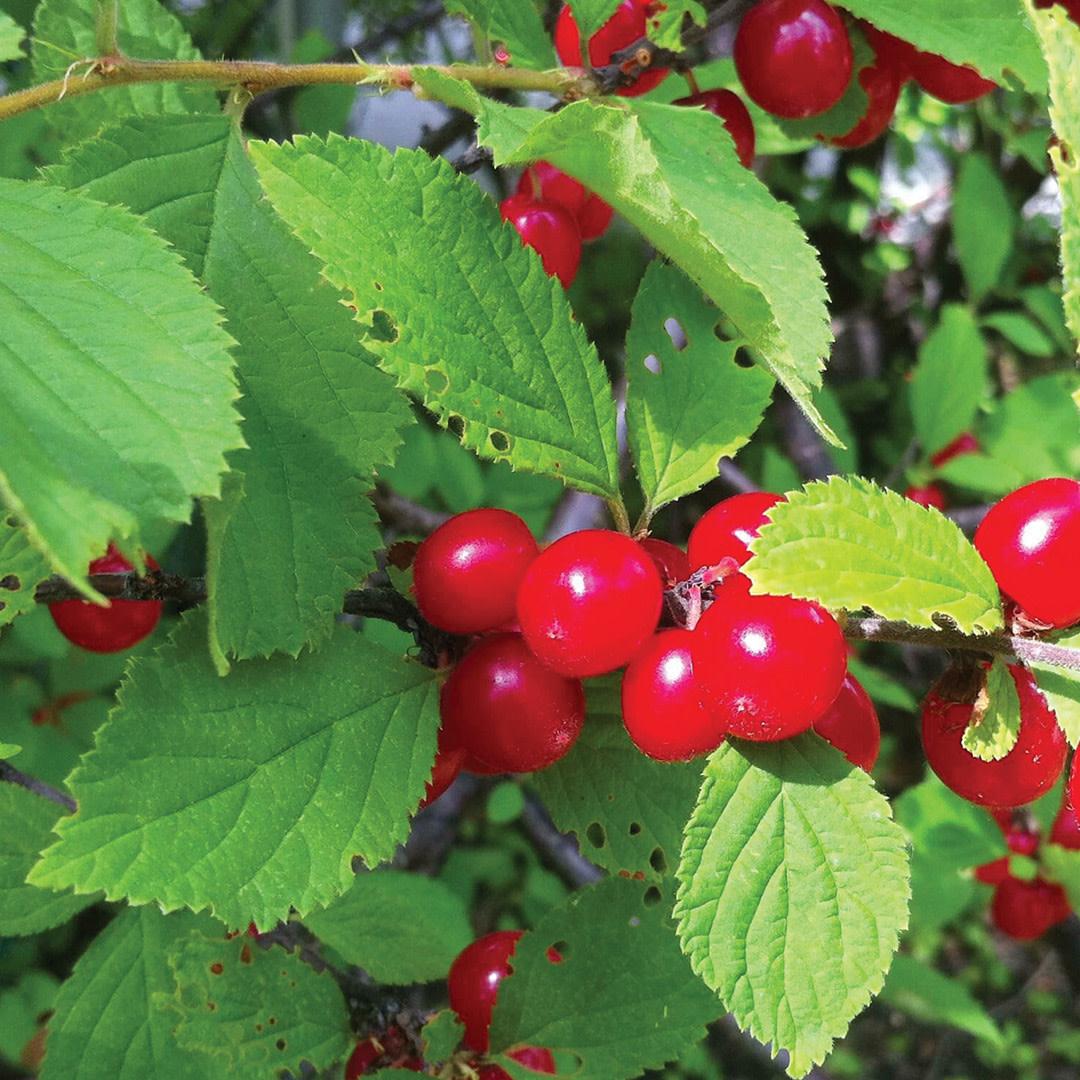 Cherry - Crimson Passion - #1 - NO WARRANTY