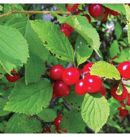 Cherry - Crimson Passion - #5 TF