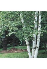 Birch - Paper - #7