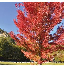 Maple - Autumn Blaze - #7