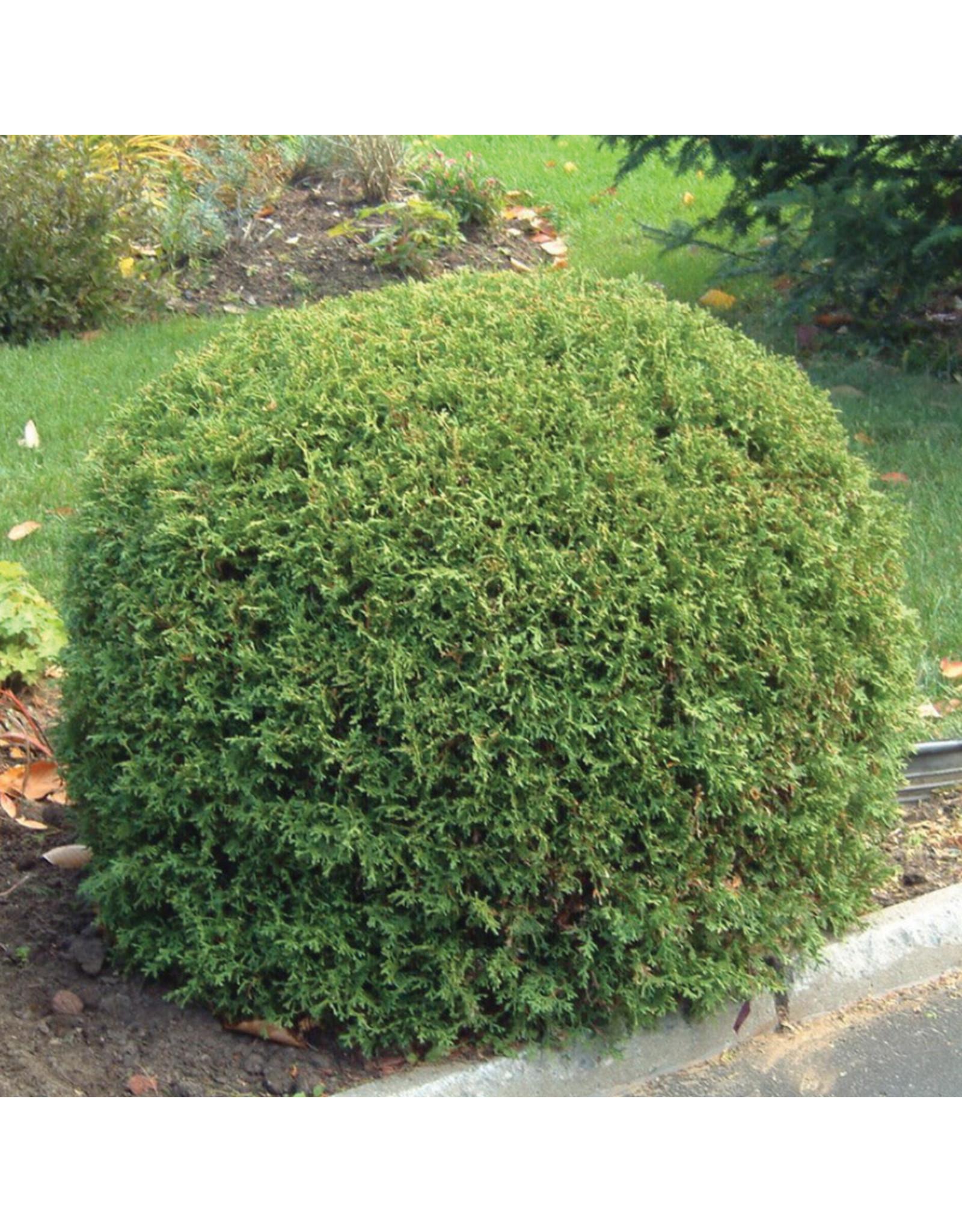 Cedar - Little Giant - #5