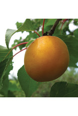 Apricot - Casino - #7