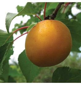 Apricot - Casino - 5-6ft FP