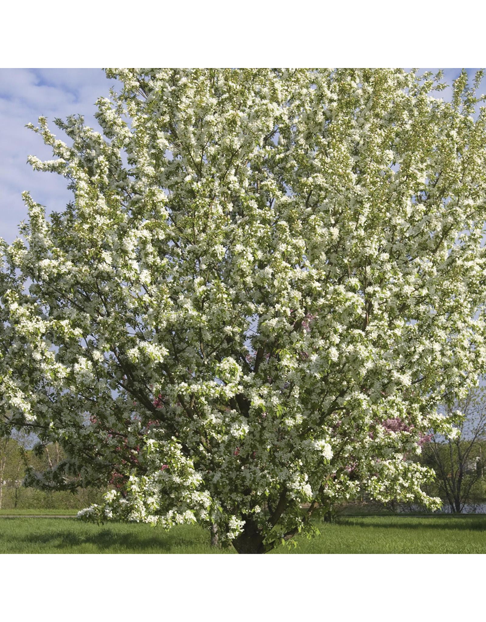 Crabapple - Spring Snow - #10