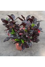 Croton - Magnificent - 10''