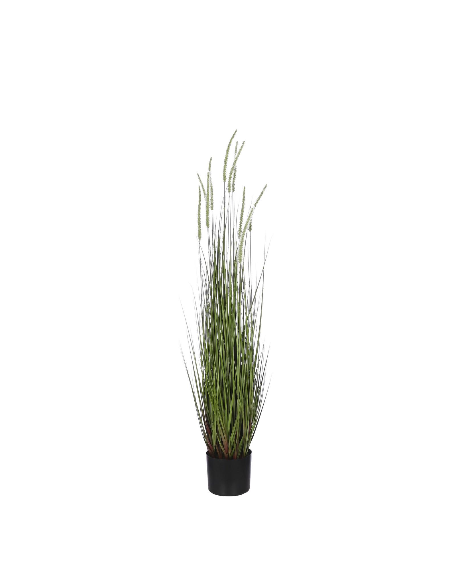 Mica Dogtail Grass Green in Pot