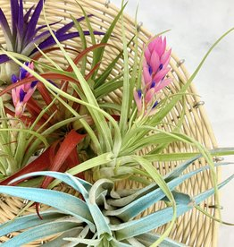 TwistedAcres Air Plants
