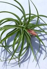 TwistedAcres Air Plants