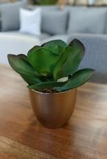 Plant Succulent In Gold Pot