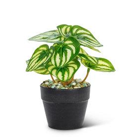 Plant Abbott Varigated Leaf Small 27-BOTANY-057-01