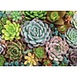 Peter Pauper Press Puzzle: 1000 Succulent Garden