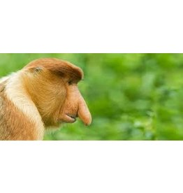 Clyde the Long Nosed Monkey