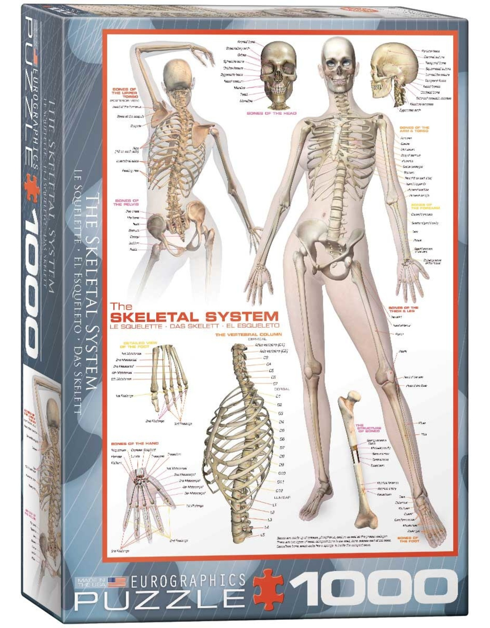 Eurographics Skeletal System (Human Body)