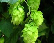 Hoppy Beers - IPAs