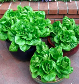 Variety of Lettuce Seeds