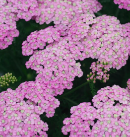 Variety of Achillea Flowers